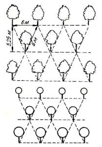 схема посадки ореха